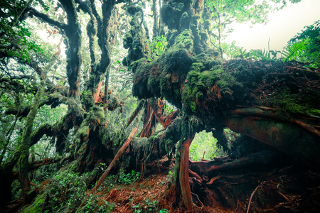 Mysterious landscape of foggy forest. Inclined tree trunk and roots overgrown with thick green moss against tall stems of exotic plant on background. Lush vegetation of tropical rainforest Archivio Fotografico - 112524293