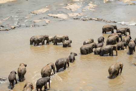 Big Asian elephants relaxing, bathing and crossing tropical river. Amazing animals in wild nature of Sri Lanka Archivio Fotografico - 112524294