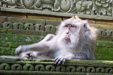 Long-tailed macaque (Macaca fascicularis) monkey relaxing on stone temple building in Sacred Monkey Forest Sanctuary. Bali, Ubud, Indonesia. Lovely primate in nature Archivio Fotografico - 104696655