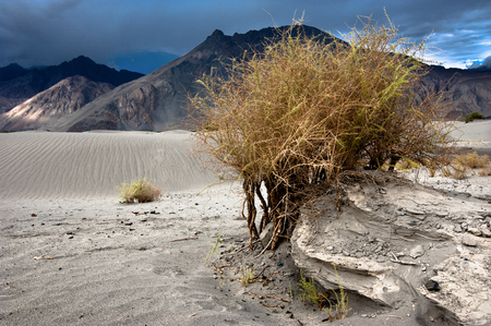 Desert plant growing at Nubra Valley sand dunes. Himalaya mountains landscape. India, Ladakh, altitude 3100 m Archivio Fotografico - 105525925