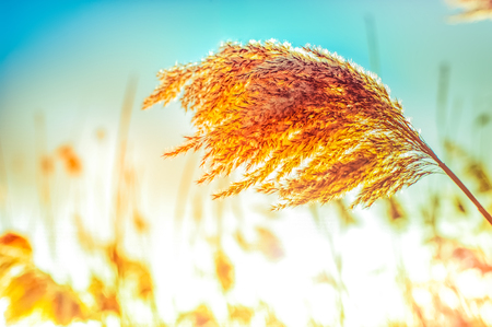 Amazing winter day at sunset. Sun rays shining through dry reed grasses Archivio Fotografico - 105525931
