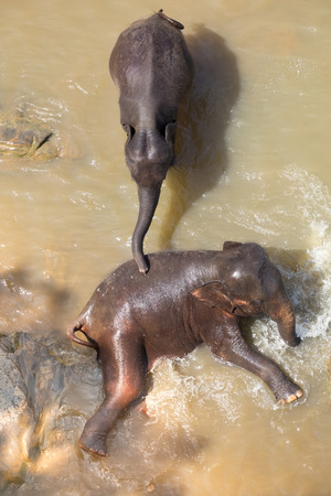 Big Asian elephants relaxing, bathing and crossing tropical river. Amazing animals in wild nature of Sri Lanka Archivio Fotografico - 105273975