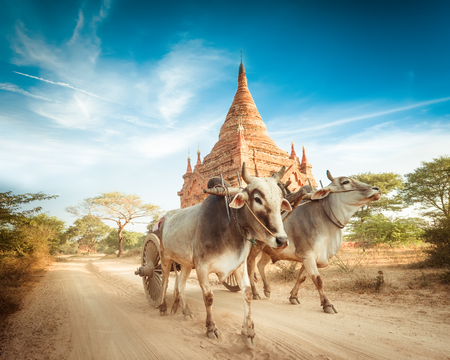 Amazing asian rural landscape with ancient Buddhist Pagoda and two white oxen pulling wooden cart. Archivio Fotografico - 115909407