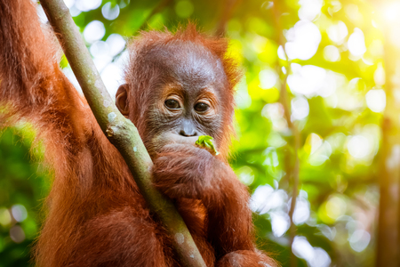 Animals in wild. Orangutan cute baby in tropical rainforest relaxing on trees and looks around against green jungles and shining sun on background. Endangered species in nature Sumatra, Indonesia Archivio Fotografico - 117040153