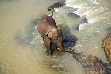 Big Asian elephants relaxing, bathing and crossing tropical river. Amazing animals in wild nature of Sri Lanka Archivio Fotografico - 117040164