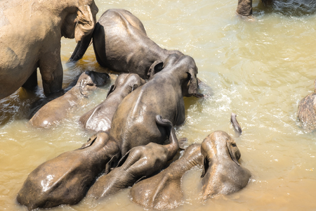 Big Asian elephants relaxing, bathing and crossing tropical river. Amazing animals in wild nature of Sri Lanka Archivio Fotografico - 117040165