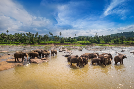 Big Asian elephants relaxing and bathing in the river under sunset sky. Amazing animals in wild nature of Sri Lanka Archivio Fotografico - 117040172