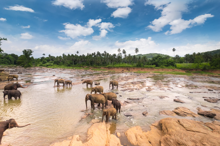 Big Asian elephants relaxing and bathing in the river under sunset sky. Amazing animals in wild nature of Sri Lanka Archivio Fotografico - 117040180