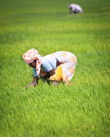 THANJAVOUR, INDIA - FEBRUARY 13: Indian woman works at rice field. India, Tamil Nadu, near Thanjavour. February 13, 2013