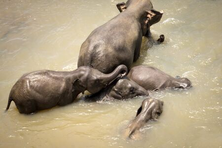 Big Asian elephants relaxing, bathing and crossing tropical river.