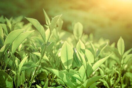 Tea leaves at plantation background under morning sun. Munnar, Kerala, India. Nature background 版權商用圖片