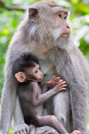 Closeup adult female monkey and cute  baby breast feeding. Animals behavior in wild nature. Bali, Indonesia