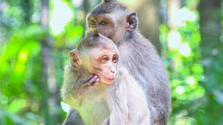Cute monkey baby watching around. Crab-eating or long-tailed macaques (Macaca fascicularis). Funny exotic animals in their natural habitat. Bali, Indonesia 版權商用圖片