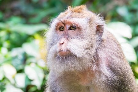 Closeup of crab-eating (Macaca fascicularis) macaques muzzle against green leaves on background. Monkey looking around. Wild nature of Bali, Indonesia 版權商用圖片