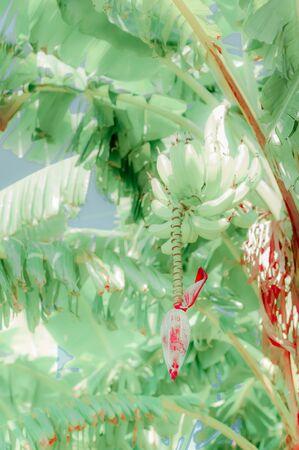 Banana tree with fruits and flower in lush tropical garden blooming banana 版權商用圖片