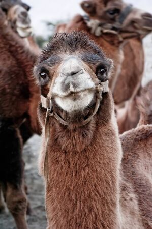 Close up funny camel face. Pastoral scenery with domestic animals at Nubra valley, part of Silk Road. Ladakh, North India. 版權商用圖片