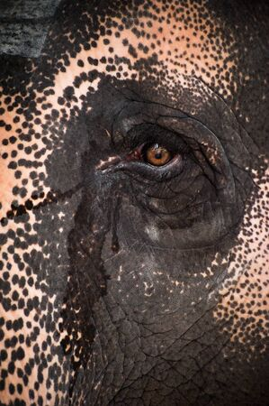 Close-up big Asian elephants eye