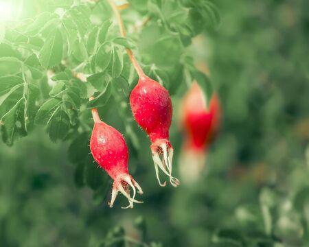 Red ripe fruits of eglantine plant or dog rose. Bush of wild briar fruitage over green nature background. Medical used herb