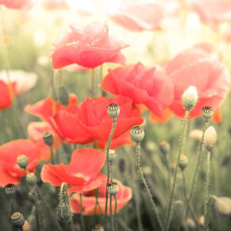 Abstract floral background in vintage style with soft selective focus. Wild poppy flowers on summer meadow. Watercolor painting effect