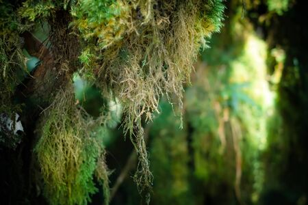 Mysterious landscape of foggy forest. Inclined tree trunk and roots overgrown with thick green moss against tall stems of exotic plant on background. Lush vegetation of tropical rainforest