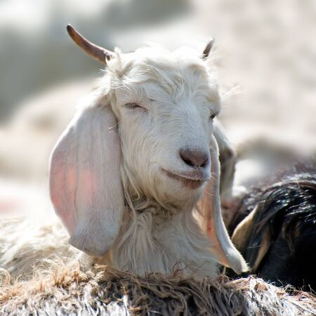 White kashmir (pashmina) goat from Indian highland farm in Ladakh Foto de archivo