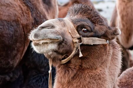 Close up funny camel face. Pastoral scenery with domestic animals at Nubra valley, part of Silk Road. Ladakh, North India. Zdjęcie Seryjne
