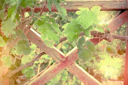 Beautiful sunny day at grape plantation in Crete island.