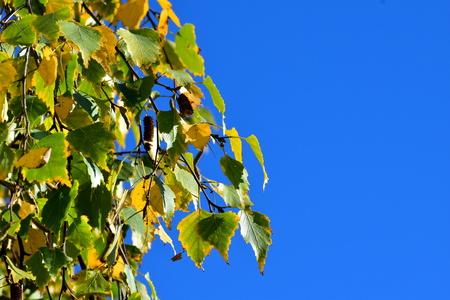 wilting: Birch leaves in autumn