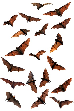 fruit bat: Creepy Halloween fruit bats  flying foxes  Stock Photo