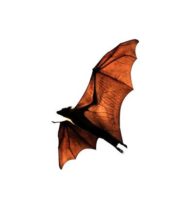 bats: Fruit bat (flying fox) Stock Photo