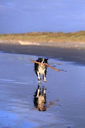 fetch: Border collie dog fetching stick on beach