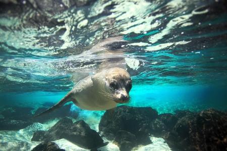 Curious sea lion underwater in turqouise water lagoon Foto de archivo
