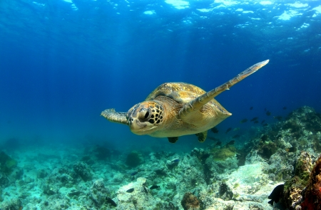 Green sea turtle swimming underwater photo