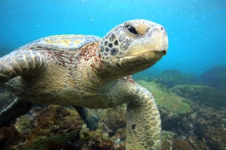Sea turtle relaxing underwater photo