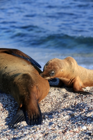 suckling: Sea lion pup suckling from mother on beach