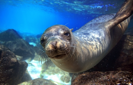 galapagos: Curious sea lion underwater in tropical ocean lagoon