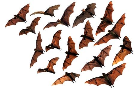 Flying fox fruit bats in sky composite image