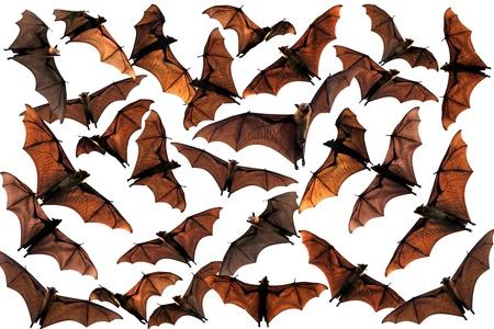 fruit bat: Colony of flying fox fruit bats in sky