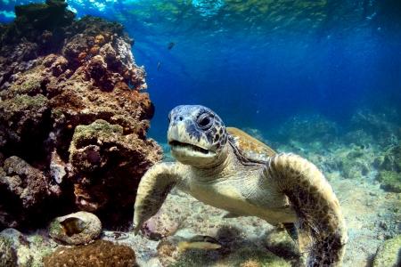 Sea turtle relaxing underwater Galapagos Islands
