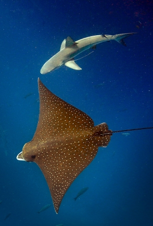 Spotted eagle ray and reef shark underwater Galapagos Islands
