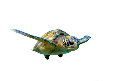 harmless: Sea turtle swimming isolated