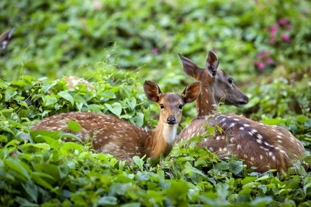 axis deer: Cute fawn with mother in forest, Sri Lankan axis deer