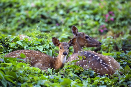 asia deer: Cute fawn with mother in forest, Sri Lankan axis deer