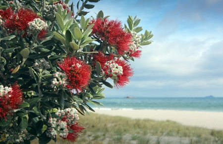 Pohutukawa trees red flowers idyllic white sand beach Stock Photo