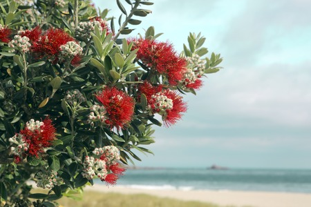 Pohutukawa tree red flowers sandy beach at Mount Maunganui, New Zealand Foto de archivo