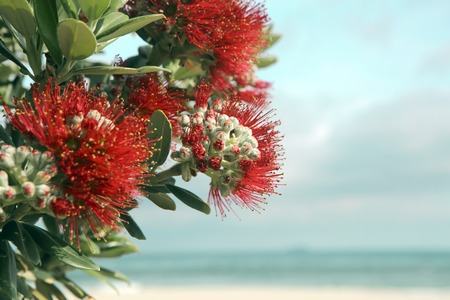 Pohutukawa tree red flowers sandy beach at Mount Maunganui, New Zealand Stockfoto