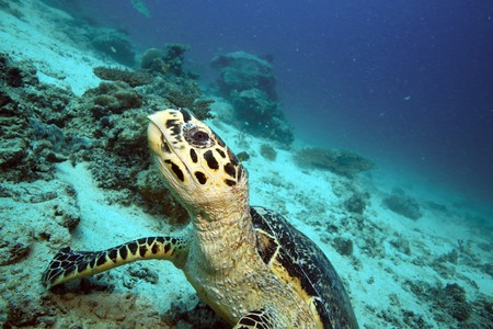 cold blooded: Hawksbill sea turtle underwater at Mabul Island, Borneo Stock Photo