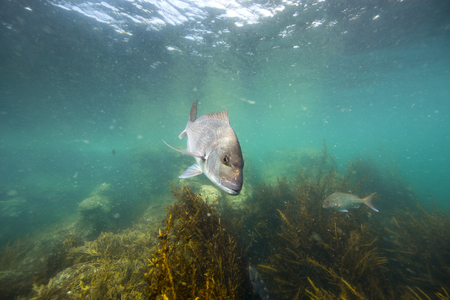 Snapper fish underwater swimming over kelp forest at Goat Island, New Zealand Stock Photo