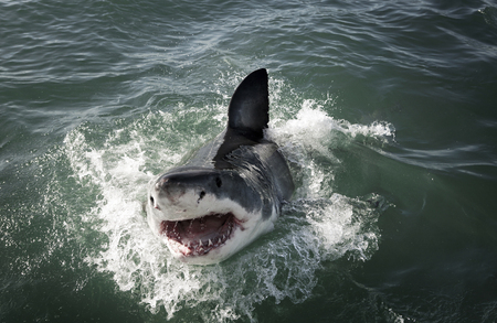 Great white shark (Carcharodon carcharias) breaching on ocean surface 스톡 콘텐츠