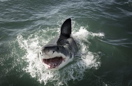 Grote witte haai (Carcharodon carcharias) die op oceaanoppervlak doorbreekt Stockfoto - 106572715